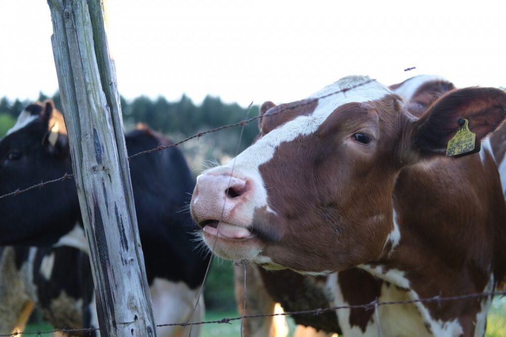 glückliche Kühe natürlich aus Schwirzheim